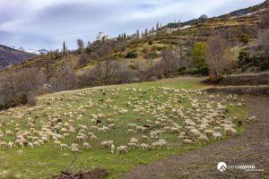 Rebaño de ovejas en Bubión